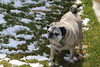 Hon-Bun in the Sun (Bob90901) Tags: pug sun dog outdoor spring snow afternoon canon 6d canonef70200mmf28lisiiusm canon70200f28lll rpg90901 longisland newyork 2018 april 1536 grass sooc