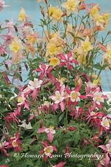 Longwood Gardens Spring 2017 (197) (Framemaker 2014) Tags: longwood gardens kennett square pennsylvania tulips united states america