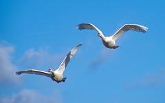 Swan song (Paul Wrights Reserved) Tags: swan swans clouds sky bird birding birdphotography birds birdwatching birdinflight swaninflight singing sing squawk bluesky woings wing