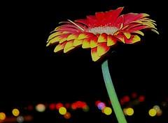 Night Macro ○  1 sec - F 1.8 (eagle1effi) Tags: bokeh dof night macro g7 g7macro g7xii canonpowershotg7xmarkii flower flora blume blumen flowers closer canong7xii markii bestof photos powershot pointandshoot unschrärfe kreiseeffects eagle1effi