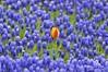 I am Different and You? (NATIONAL SUGRAPHIC) Tags: sultanahmet fatih ayhançakar türkiye newturkei turkei türkei nationalsugraphic sugraphic yenitürkiye istanbul cityscapephotography cityscapes sultanahmetmeydanı sultanahmetsquare historicalplaces tulips laleler tuliptime gülhane gülhanepark flowers çiçekler