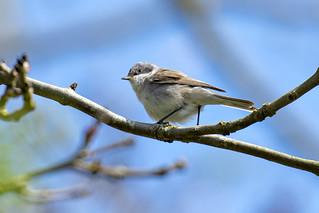 Braamsluiper-Lesser Whitethroat (Sylvia curruca)