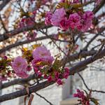 Blossoms near Capitol South Metro Station thumbnail