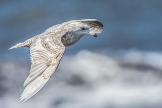 Glaucous Gull in Flight