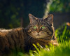 The lazy hazy days of Spring ! (FocusPocus Photography) Tags: cleo katze cat chat gato tier animal haustier pet gras grass rasen lawn garten garden tabby
