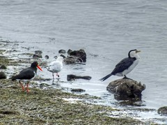 Feeding Frenzy (AdamsWife) Tags: australia tasmania derwentriver river water bird birds birdwatcher birdlife