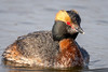 WaterWitch (jmishefske) Tags: 2018 d850 nikon waterfowl plumage adult witch water diver beach oakcreek southmilwaukee devil grant wisconsin spring breeding park wildlife bird county april