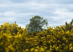 Looking Through The Gorse (Jacob Arnold Photo) Tags: gorse plant surrey headley heath nikon uk d850 70200mm nikkor england southeast national trust