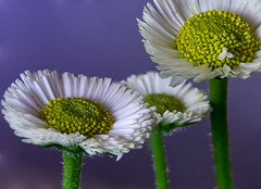 White Flowers (@DinAFoto) Tags: blumen flowers makro focus stacking merge blau weis gelb blue green yellow natur nature closeup