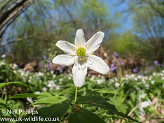 Wood anemone-4 (Neil Phillips) Tags: anemonenemorosa wildflowers woodanemone floor forest plant smellfox thimbleweed white windflower woodland