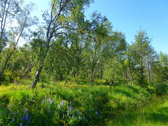A Springtime Forest in Iceland (abrideu) Tags: abrideu panasonicdmctz20 forest trees sky grass flowers outdoor iceland ngc npc