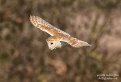 Barn owl out hunting (gemma reddington) Tags: barnowl flight flying outside wild wildlife animal bird spring nature natural birdofprey owl