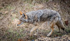Coyote prowls (tibchris) Tags: dog wolf coyote wildlife nature yosemitenationalpark yosemite yosemitepark