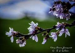 Cricket St Thomas Cherry Blossom  20012018_03424 (barabra.collins) Tags: nature floral winter availablelight backlit blossom closeup colourful flower