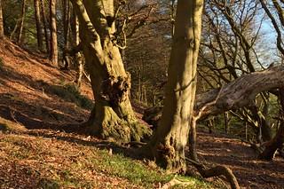 April Beech Wood