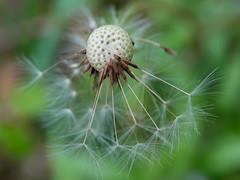 Одуванчик (grizlena) Tags: одуванчик taraxacum dandelion flowers flower spring asteraceae астровые plant grass macro