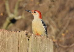 Red-Bellied Woodpecker (aj4095) Tags: red bellied woodpecker spring canada ontario wildlife nature bird