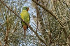One in a Thousand DSC_0034 (BlueberryAsh) Tags: latropeuniversity parrot swiftparrot birds criticallyendangered rarebird threatenedbird australianbird lathamusdiscolor nikond500 tamron150600 wildlife australianwildlife