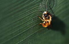 Red Mason Bee. (Chris Kilpatrick) Tags: chris canon canon7dmk2 macro sigma105mm sigma outdoor wildlife nature bee insect april wood redmasonbee signsofspring springwatch douglas isleofman