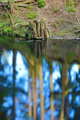 Canon EOS 5D Mark IV - 0C4A1097 (rogerbtree) Tags: gardens oldgrowth nature wildlife flowers waterfeatures ponds trees hdrimagery reflections spring bainbridgeisland canon canon5dmkiv pacificnorthwest