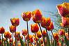 Tulipes - Keukenhof (sebastienpeguillou) Tags: tulipes tulips fleur flower keukenhof hollande paysbas