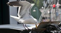 DSC_0579 (RachidH) Tags: birds oiseaux crissy field crissyfield sanfrancisco gulls pacificocean ocean westerngull larusoccidentalis goélanddaudubon goéland rachidh nature presidio wharf fishermanswharf