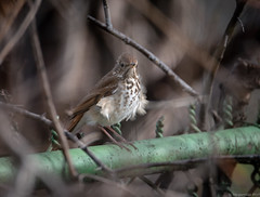 Hermit Thrush (piano62) Tags: birds hermitthrush birdmigration spring2018 urbanwildlife urbannature chicago chicagoriver nikond750 tamron150600mm