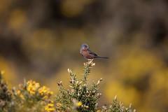 Dartford Warbler (uncropped) (peterspencer49) Tags: peterspencer peterspencer49 dorset dorsetcoast arne warbler dartfordwarbler bird rspb