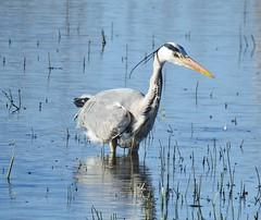 Grey Heron - Hunting at Cresswell Ponds (Gilli8888) Tags: druridge cresswell cresswellponds nikon coolpix p900 birds waterbirds northumberland wetlands nature countryside waders heron greyheron water