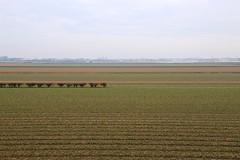 Pre-Season Tulip Field (YY) Tags: keukenhof lisse southholland holland netherland tulips field