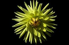 yellow (robertoburchi1) Tags: flowers fiori dhalia nature natura closeup macro
