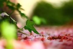 Solista (Nathalie_Désirée) Tags: ivy plant leaf nature macro closeup blossom rosé minimalistic less mini miniworld flora flower blooming fallen outdoors spring daylight bokeh canoneos600d canon50mm f18 sun sunlight day sunshine