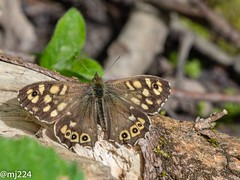 Speckled Wood (dudutrois) Tags: speckled wood