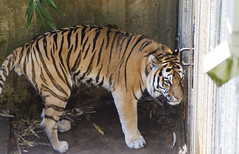 National Zoo 3 May 2018  (405) Tiger (smata2) Tags: tiger tigre smithsoniannationalzoo zoo zoosofnorthamerica itsazoooutthere animals zoocritters bigcats flickrbigcats