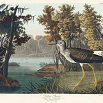 Yellow Shank from Birds of America (1827) by John James Audubon (1785 - 1851), etched by Robert Havell (1793 - 1878). The original Birds of America is the most expensive printed book in the world and a truly awe-inspiring classic. thumbnail
