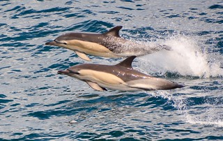 Common Dolphins Biscay DSC_6196
