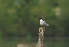 Sterne pierregarin-Sterna hirundo - Common Tern 7296_DxO.jpg (Zoizeaux de Gabriel) Tags: 500mmf4 commontern domainedesoiseaux mazères nikond5 occitanie oiseauxnet sternahirundo sternepierregarin