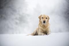 Odan (Katarina Drezga) Tags: winter snow dogs dogphotography petphotography pets nikond750 tamron70200vcg2 dog pet