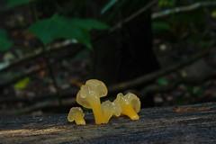 P3199132 Dacrymyces sp. (razor4343) Tags: dacrymycessp dacrymyces jellyarffungi arffungi arfp qrfp tropicalarf cheepickcairns jellyfungi dacrymycetaceae orangearffungi