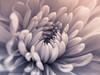 Panasonic gx80 30mm olympus macro (Jasrmcf) Tags: panasonic panasonicgx85 panasonicgx80 panasonic1232mm gx80 macro olympusmacro30mm smooth bokeh bokehgraph bokehlicious delicate detail dof 30mm garden flower ngc greatphotographers colourful colourartaward blackandwhite petals closeup