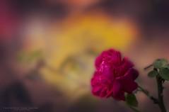 Mesmerising (Sanhita Bhattacharjee/সংহিতা ভট্) Tags: sanhitabhattacharjee mesmerising betterphotography tripura flower flowers flora pinkflower red rose photography 121click 500px google colour vivid dream
