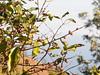 Cabo Verde Cape Verde North Fogo Coffee Plant © Kapverden Kapverdische Inseln Kaffeeanbau © (hn.) Tags: africa afrika bohne bohnen busch caboverde capeverde cherries cherry coffea coffee coffeebean coffeebeans coffeebush coffeecherries coffeecherry coffeeplant coffeeplantation frucht ilha ilhadofogo insel island kaffee kaffeeanbau kaffeebohne kaffeebohnen kaffeebusch kaffeekirsche kaffeekirschen kaffeepflanze kaffeeplantage kaffeestrauch kapverde kapverden kapverdischeinseln kirsche macaronesia mosteiros nordfogo northfogo paiantonio plantage plantation sotavento steinfrucht steinfrüchte strauch westafrica westafrika heiconeumeyer copyright copyrighted