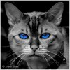 The Ol' Blue Eyes II (lukiassaikul) Tags: creativephotography photopainting digitalpainting paintingfromphoto selectivecolouring poppingcolours domesticatedanimals pets cat blueeyes