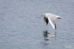 Black-headed gull (Cristofer Martins) Tags: chroicocephalusridibundus larusridibundus blackheadedgull guinchocomum bird birds lake gull birdwatching eurasianbirds nature wildlife coth5