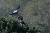 difesa del territorio (Tonpiga) Tags: tonpiga uccelliinlibertà faunaselvatica cornacchia poiana