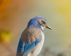 Thinking it over, (Omygodtom) Tags: asia toy bench happy wildlife scrubjay scene senery bird bokeh dof d7100 nikon70300mmvrlens