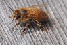 bee yoga: warming pose (christiaan_25) Tags: honeybee apismellifera bee insect cold worker sunning warming spring wood woodgrain