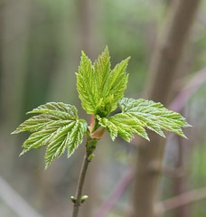 Spring Maple (ekaterina alexander) Tags: tree brach spring new leaves trees ekaterina alexander nature photography pictures england susssex bud buds april maple