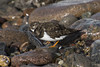 Turnstone ... Turning .. Stones (steve_whitmarsh) Tags: aberdeen scotland nature wildlife animal birds coast beach rocks pebble water sea ocean turnstone abigfave