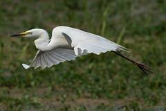 Great White Egret June 2017 (jgsnow) Tags: bird egret heron greatwhiteegret flight